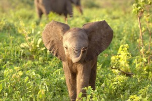 adorable-baby-elephant