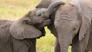 ELEPHANTS KIDNAPPED