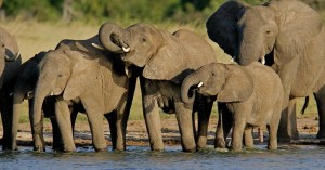 ELEPHANTS - SMALL HERD