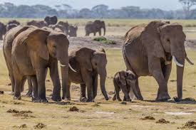 ELEPHANTS - HERD WALKING
