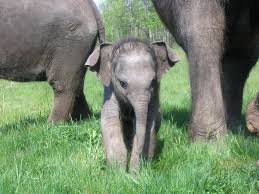 ELEPHANTS - BABY WITH PARENTS